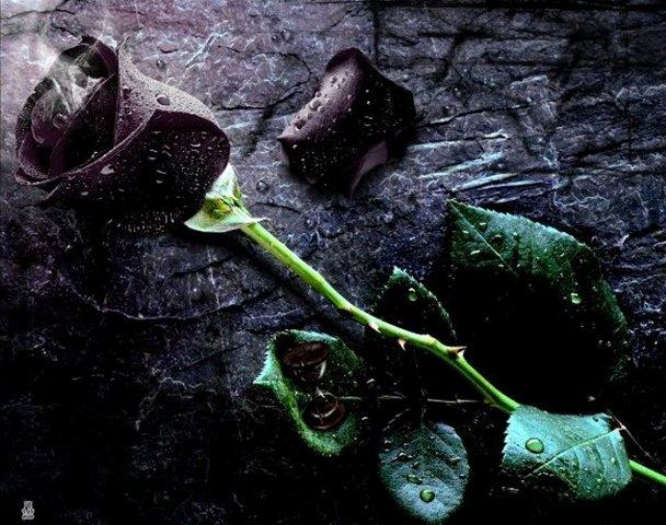 Gambar Mawar Merah Berduri Filosofi Bunga Background Hitam ...